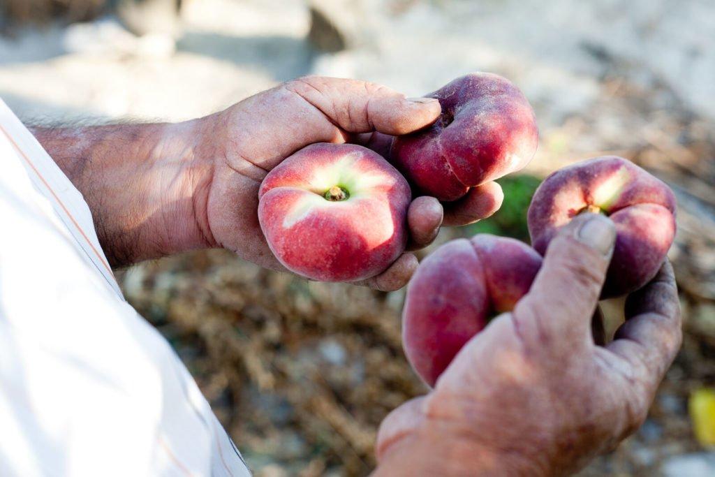 Reportajes fotográficos agricultura - Fruta de hueso en Murcia