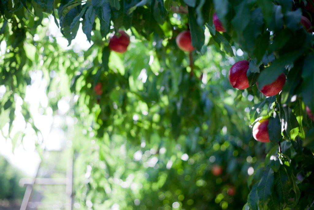 Reportajes fotográficos agricultura - Fruta de hueso en Murcia, Nectarina